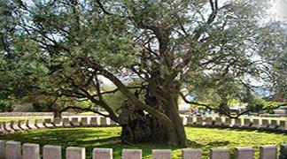 Old Olive tree of Mirovica